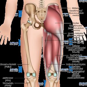 Physiotherapie Deuser & Bauer Mannheim Ischiocrurale Muskulatur hintere Oberschenkelmuskulatur